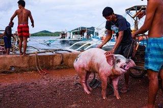 DA: Tulong sa mga hog raiser na naapektuhan ng ASF, dadagdagan