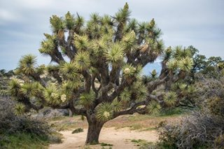 Climate change could wipe out California's Joshua trees by end of century