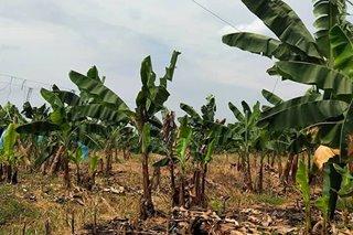 'Panama disease' tumama sa mga sagingan sa Davao del Norte