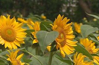 Sunflower sa tag-ulan, bagong atraksiyon sa Albay