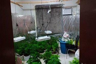Greenhouse ng marijuana natagpuan sa Subic, 2 arestado