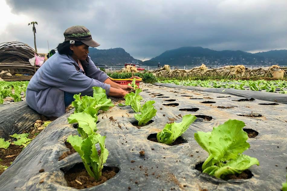 Benguet farmers welcome rain after drought wilts crops