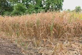 Pinsala ng El Niño, higit P5 bilyon na