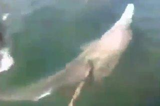 Pagpatay sa dolphin sa Northern Samar, iniimbestigahan na