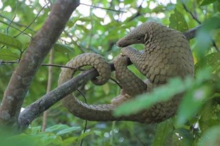 Pangolin identified as potential link for new coronavirus spread