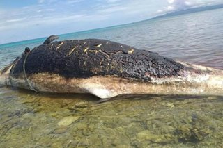 Dead sperm whale washes up on Basilan shore