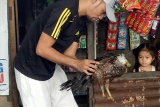 Crested serpent eagle rescued in Zamboanga