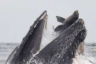 LOOK: Rare photo captures sea lion falling into mouth of whale