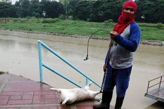 16 patay na baboy narekober sa Marikina River