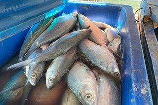 900 kilo ng bangus na galing sa fish kill, nasabat