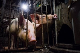 Agri dep't says 12,000 pigs infected with African swine fever in parts of Luzon