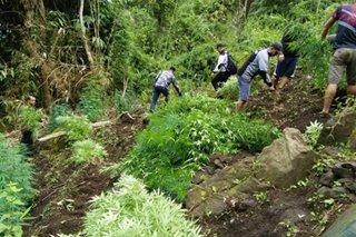 9 marijuana plantation, nadiskubre sa Ilocos Sur