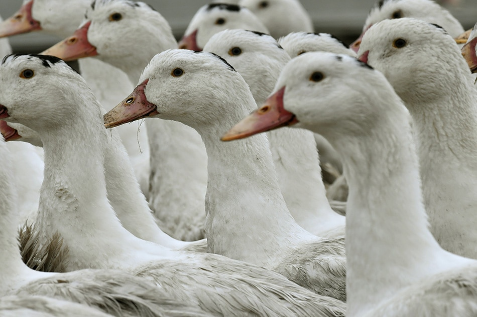 Top US court upholds California foie gras ban | ABS-CBN News