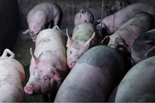 Benguet province eyes lockdown to prevent spread of African swine fever
