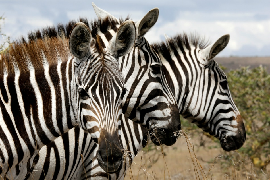 Scientists find out why zebras have stripes