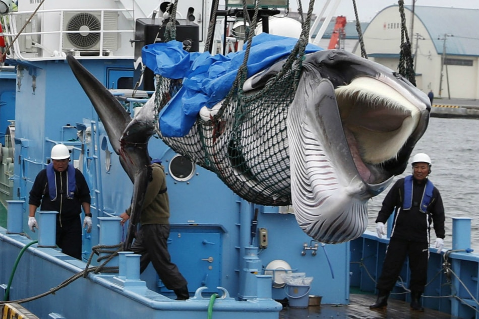 Japan holds 1st whale meat auctions since restart of commercial hunt