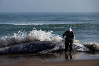 US biologists probe deaths of 70 emaciated gray whales