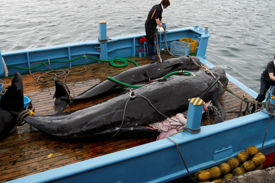 Japan Resumes Commercial Whaling After Decades of Slaughtering Whales 'for Science'