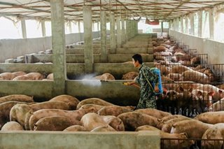 China taps pork reserve as swine fever hits industry