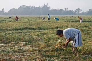 P20-billion emergency aid sought for farmers hurt by rice imports