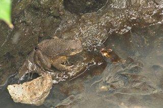 'Anti-dengue' frogs na pinakawalan sa QC 'peste, nakalalason': eksperto
