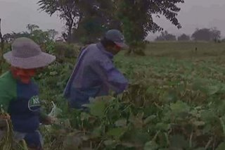 Farmers harvest crops early in anticipation of tropical storm Ramon