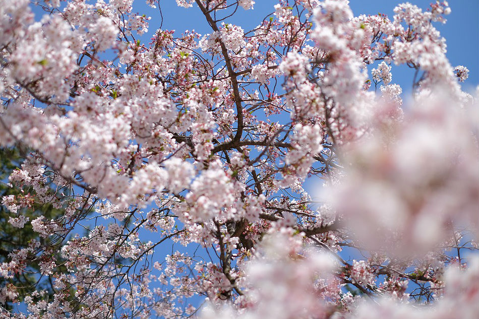 Robi Domingo names top 6 go-to places in Japan to see the cherry blossoms
