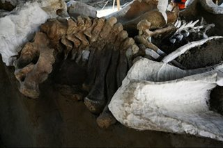 Graveyard of mammoths unearthed at Mexico's new airport