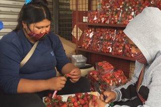 Strawberry vendors umaasa sa online sellers para makabenta sa gitna ng pandemya