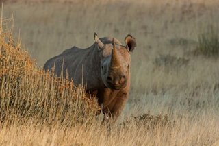 Nearly extinct rhino population finally increased