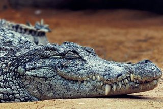 Indian village holds crocodile hostage