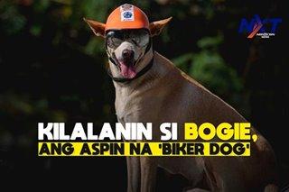 Kilalanin si Bogie, ang aspin na biker dog