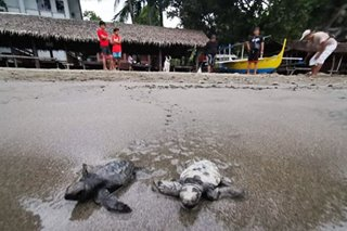 Turtle hatchlings released