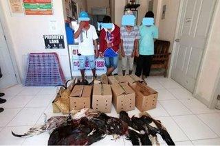 Sabungan na binuksan kahit may quarantine sa Davao del Sur sinalakay; 4 tiklo