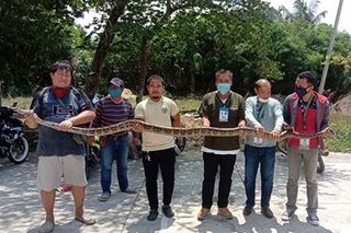Reticulated python rescued in Zamboanga City