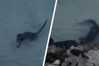 LOOK: 2 Asian small-clawed otters in rare sightings in Tawi-Tawi