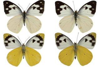 Filipino biologist discovers new butterfly subspecies in Negros peak