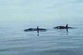 Killer whales namataan sa dagat sa Bohol