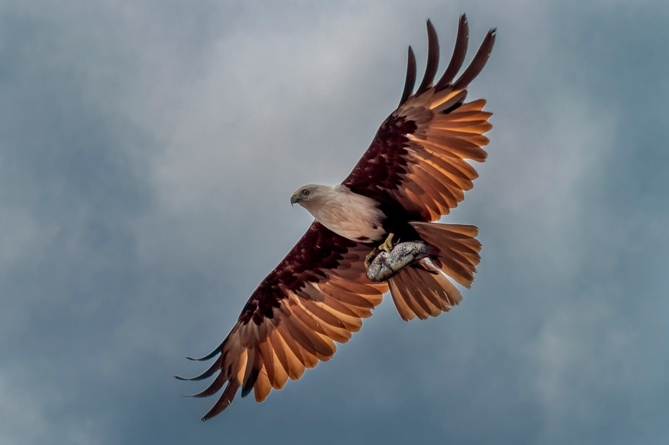 LOOK: Brahminy Kite spotted in Manila