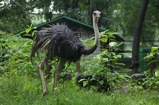 Ostrich na nakawala sa QC namatay dahil sa 'stress'