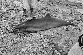 Pregnant Fraser's dolphin found dead in Bohol