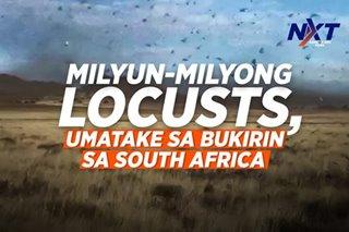 Milyun-milyong locusts, umatake sa bukirin sa South Africa