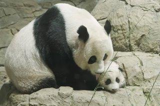 Washington zoo's giant panda cub Xiao Qi Ji rocks it in new Instagram video