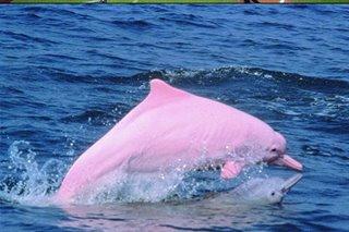 Hong Kong pink dolphins enjoy comeback as pandemic slows marine traffic