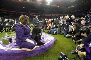 Standard poodle crowned top dog in finale of Westminster Kennel Club show
