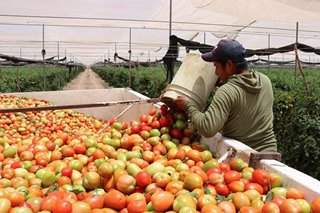 Mexican farmers give away tomatoes as demand squashed by coronavirus
