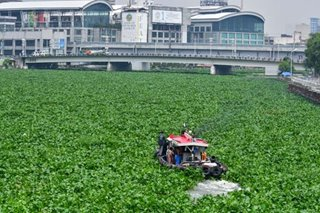 Invasive water hyacinths choke Pasig River