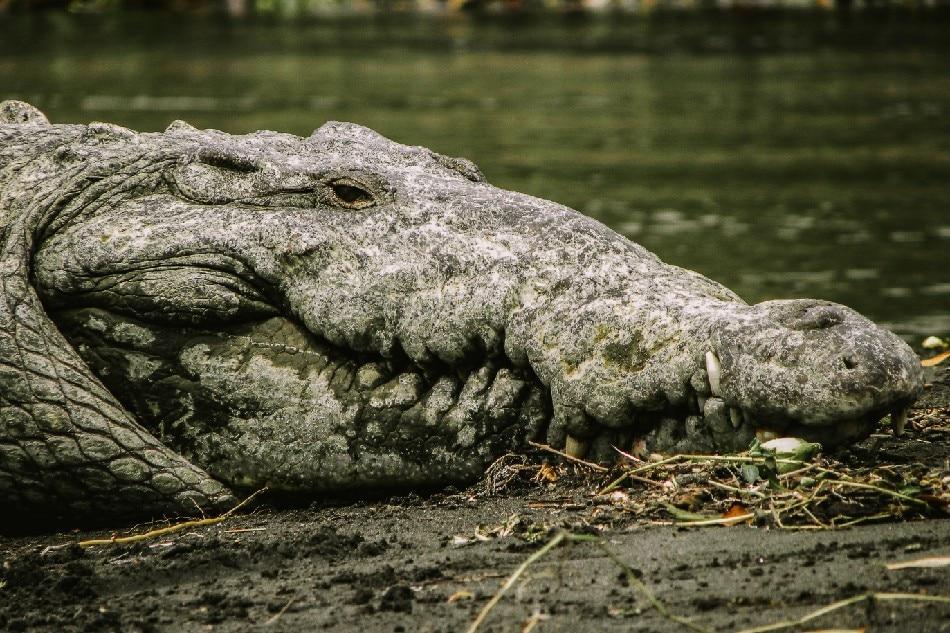 Lake Placid: Man pries crocodile jaws off his head 1