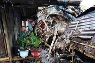 TINGNAN: 4 bahay nasira ng nabuwal na puno sa Cotabato