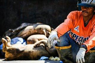DA naglunsad ng malawakang programa para ibangon ang hog industry